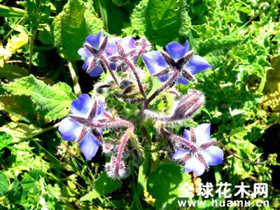 琉璃苣图片