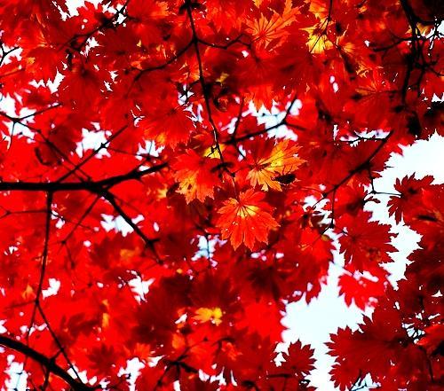 日本红枫图片