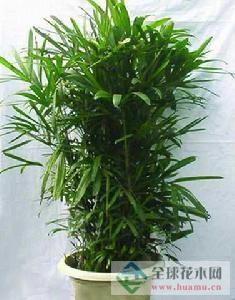 矮棕竹图片