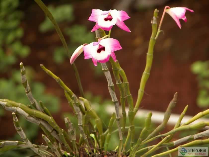 凹唇石仙桃图片