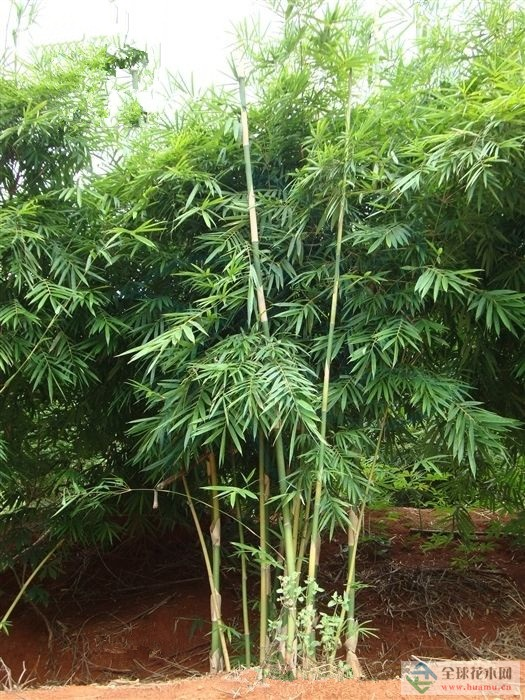 米筛竹图片