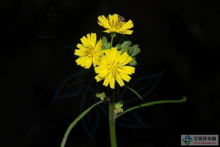 长裂黄鹌菜图片