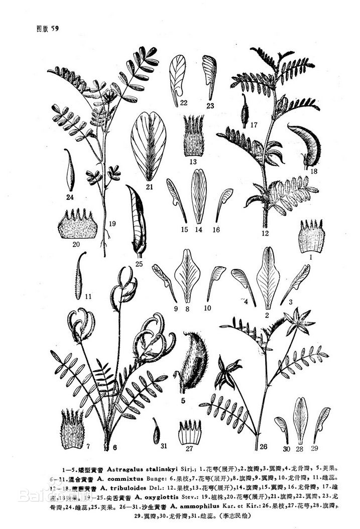 矮型黄耆图片