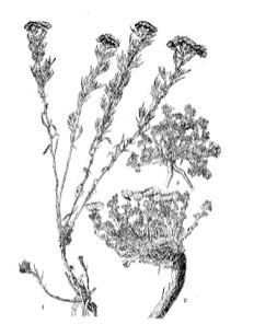 矮亚菊图片