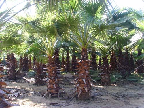 华盛顿棕榈图片