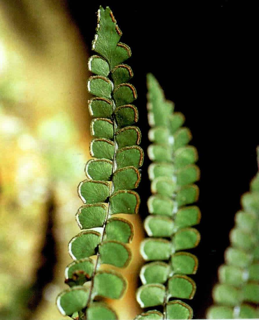 团叶鳞始蕨图片