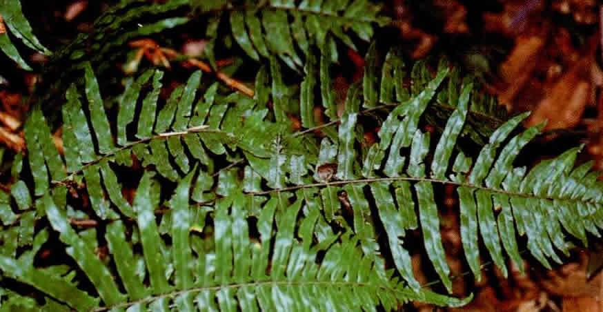 虎克鳞盖蕨图片