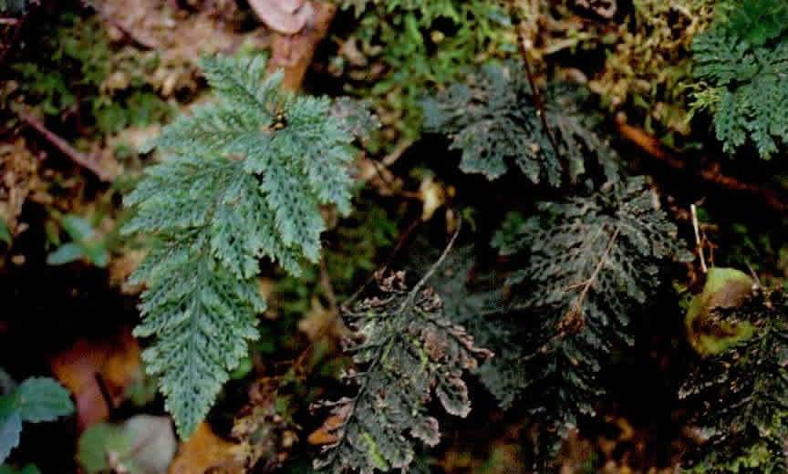 广西长筒蕨图片