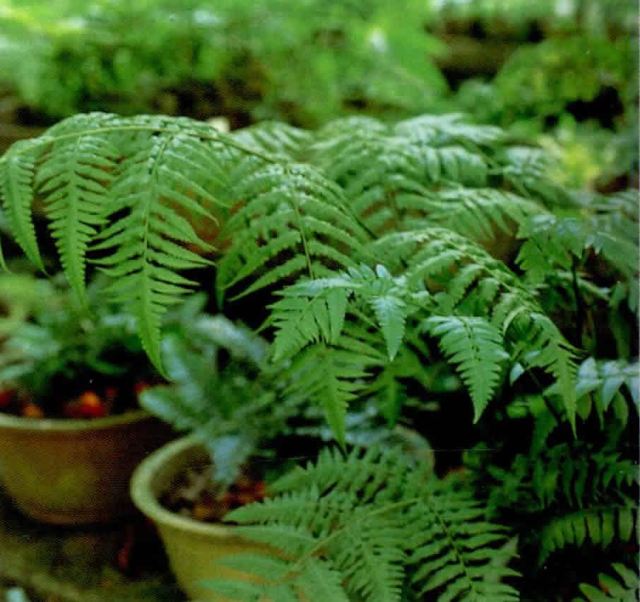 淡绿短肠蕨图片