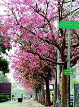 美人树图片