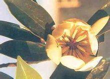 乐东拟单性木兰图片