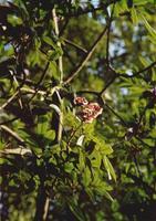 花榈木图片