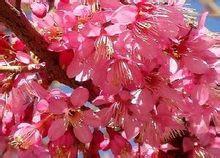 冬樱花图片
