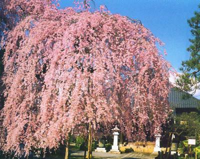 垂枝樱花图片