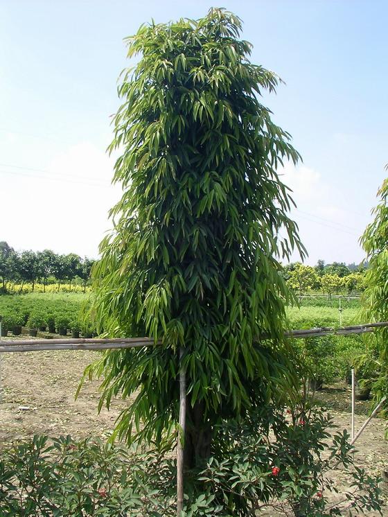 长叶榕图片