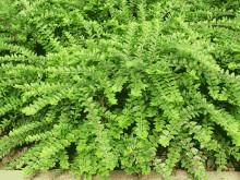 匍枝亮绿忍冬图片