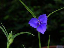 紫露草图片