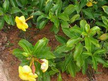 软枝黄蝉图片