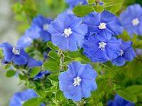 蓝星花图片