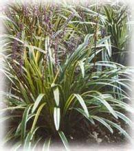 花叶麦冬图片