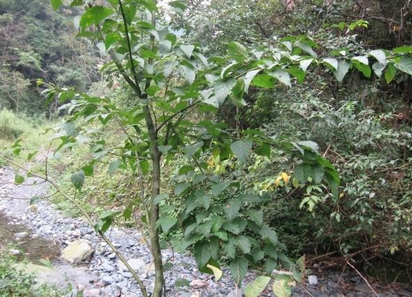 青榨槭图片