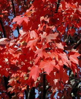 红花槭图片