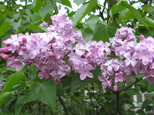 紫丁香图片