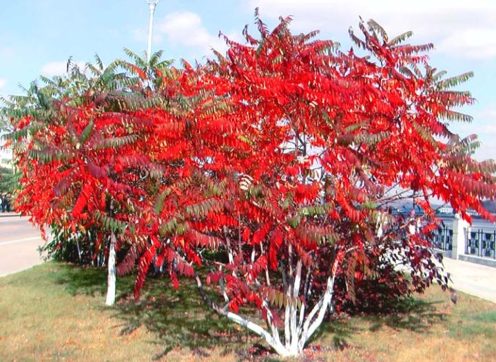 火炬树图片