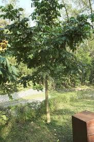 猫尾木图片