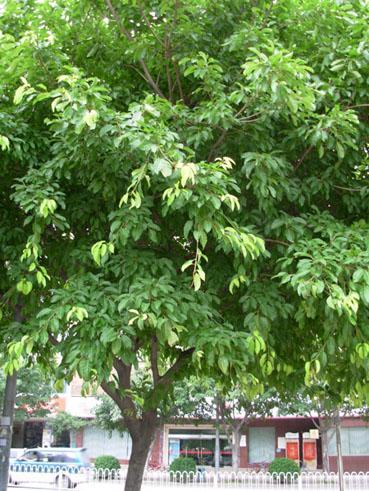 大叶榕图片