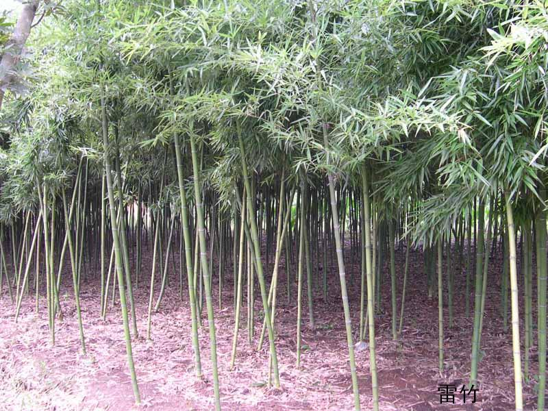 早园竹图片