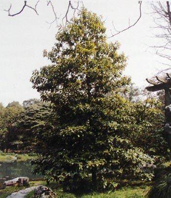 亚龙木图片