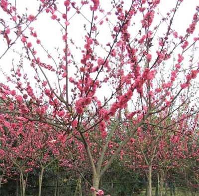 红叶桃图片