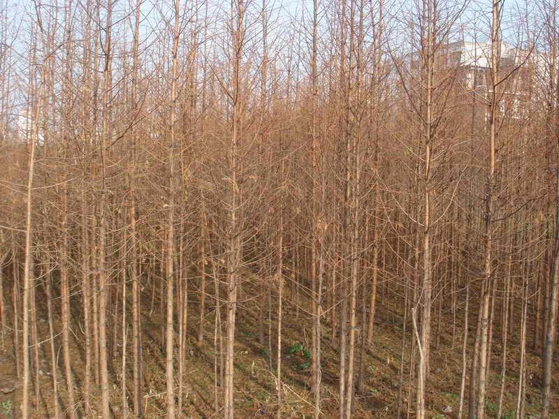 壁纸 成片种植 风景 树 杨树 植物 种植基地 桌面 800_600