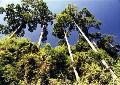 望天树图片
