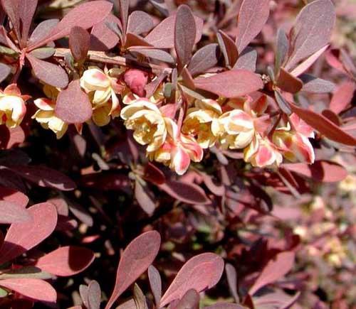 红叶小檗图片