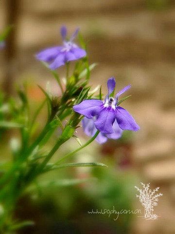 翠蝶花图片