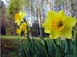 黄水仙图片