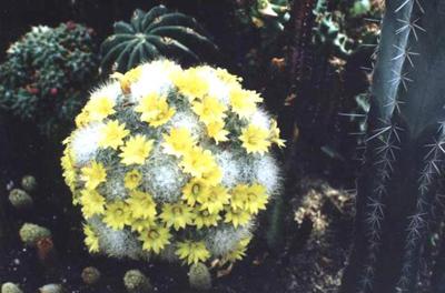 香花球图片