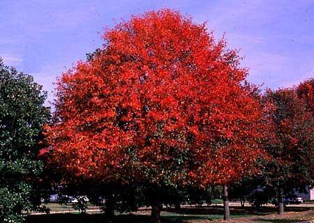 蓝果树图片