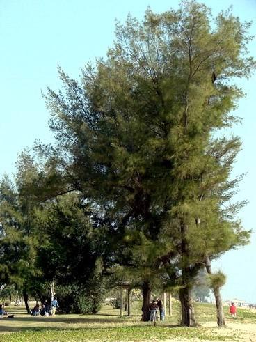 木麻黄图片