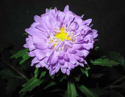 八月菊图片