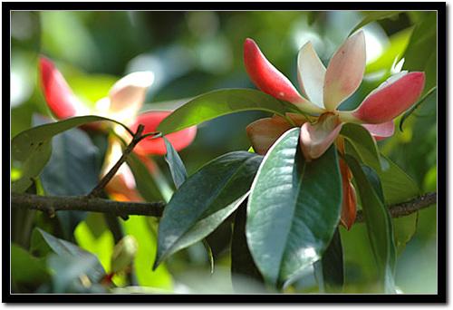 红花木莲图片
