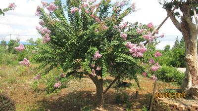 紫薇桩图片