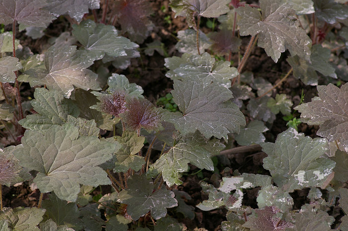 紫叶珊瑚钟图片