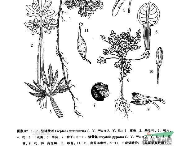矮黄堇图片