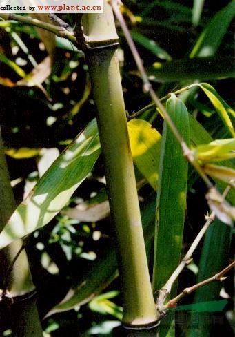 斑苦竹图片
