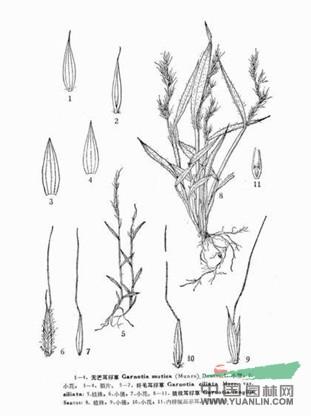 斑毛耳稃草图片
