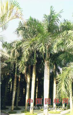 大王椰子图片