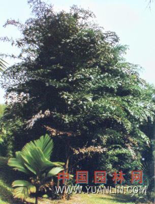 短穗鱼尾葵图片